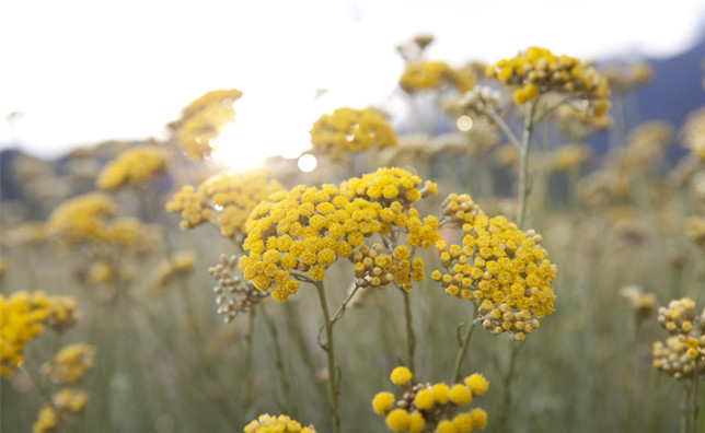 immortelle smilje oil sadnice
